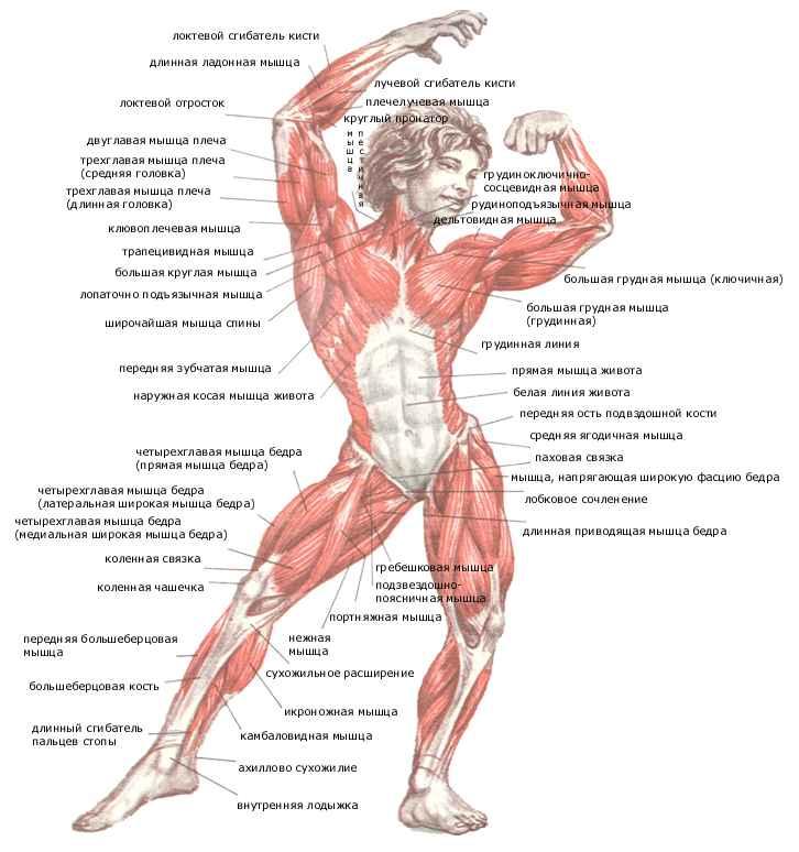 Полный перечень мышц и их